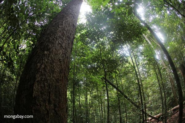 Rainforest in Indonesian Borneo
