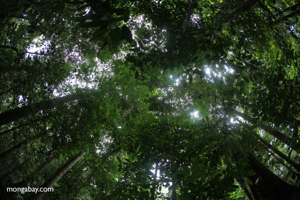 Rainforest in West Kalimantan on the island of Borneo