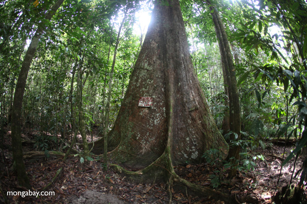 Giant rain forest tree with a warning on the trunk, West Kalimantan