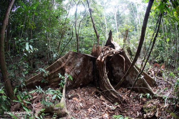 Illegally logged tree in Indonesia. Photo by: Rhett A. Butler.
