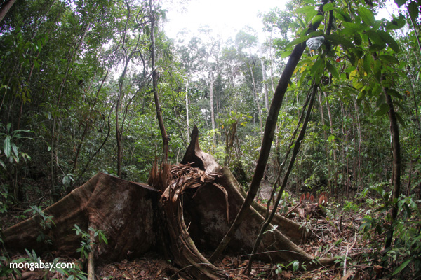 A stump is all that remains of an illegally felled tree in the rainforest of West Kalimantan, Indonesia. Photo by Rhett A. Butler.
