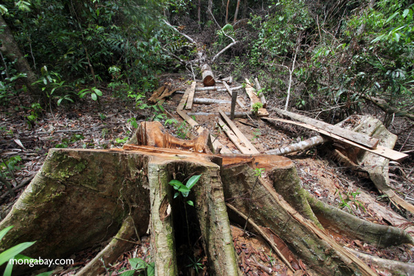 Illegally logged rainforest tree in Gunung Palung National Park, West Kalimantan, Indonesia. Photo by Rhett A. Butler.