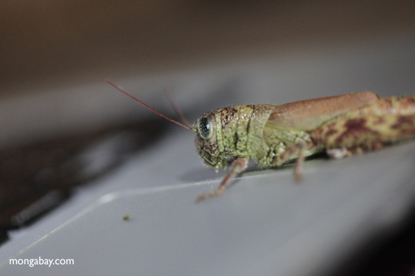 grasshoppers apparently use apple products