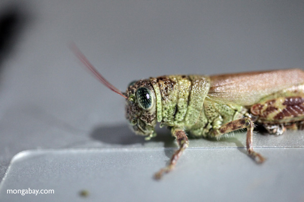 grasshoppers apparently use apple's macbook air