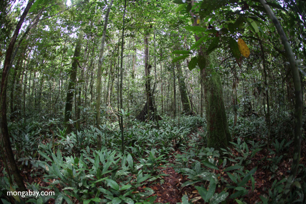 Rainforest understory in Gunug Palung National Park. Photo by Rhett A. Butler.