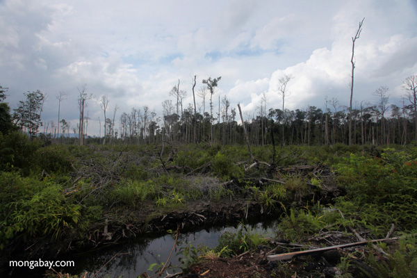 Cleared peat forest in the process of being drained outside Gunung Palung