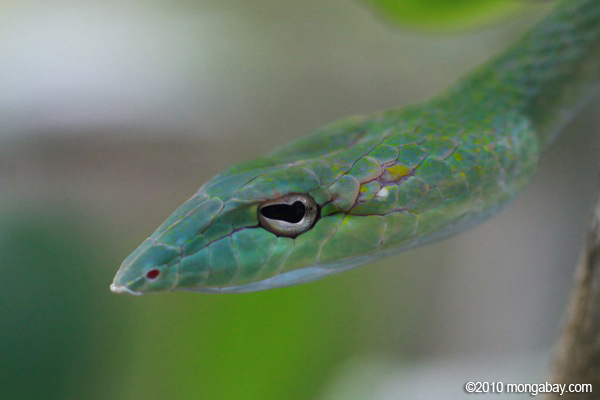 Photos: green vine snake