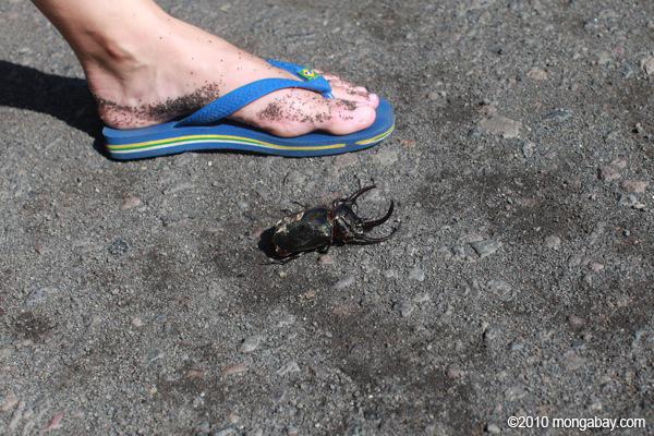 Giant Atlas Beetle Giant Atlas beetle