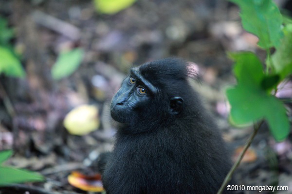 Originaire de l'île indonésienne de Sulawesi, le macaque à crête noire (Macaca nigra) est classé par la liste rouge de l'Union internationale pour la Protection de la Nature comme étant en danger critique. Photo de Rhett A. Butler.