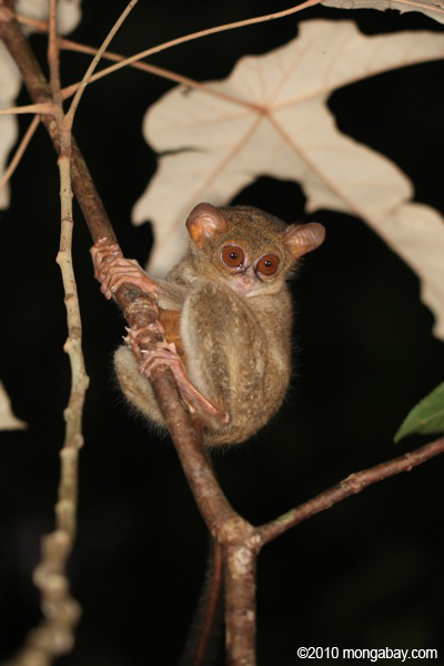A tarsier of genus Tarsius, many species of which are threatened with extinction. Photo by Rhett A. Butler.