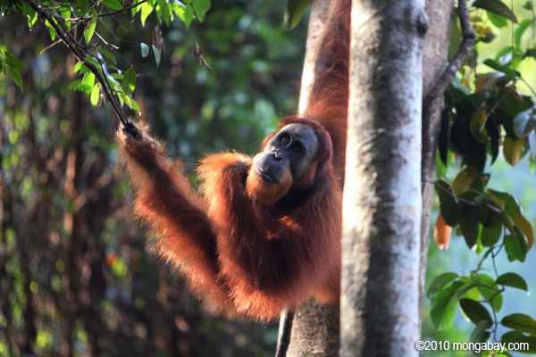 The Sumatran orangutan (Pongo abelii) is considered Critically Endangered with approximately 7,000 left, representing an 80% decline in 75 years. Photo by: Rhett A. Butler.