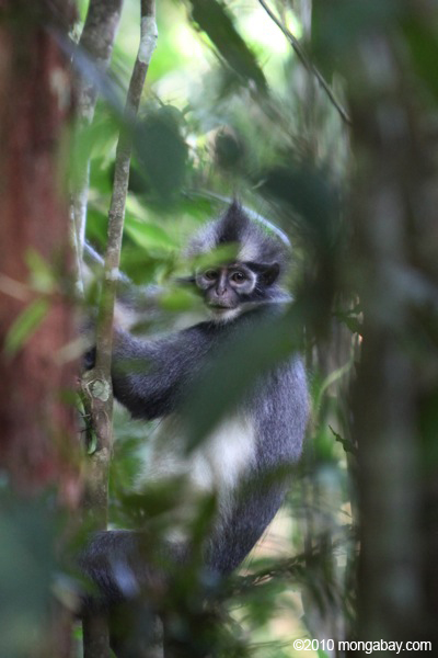 Clearing of forest for plantations is demolishing habitat needed by wildlife, such as this Thomas' langur (Presbytis thomasi), which is listed as Vulnerable by the IUCN. Photo taken in Sumatra by Rhett A. Butler.