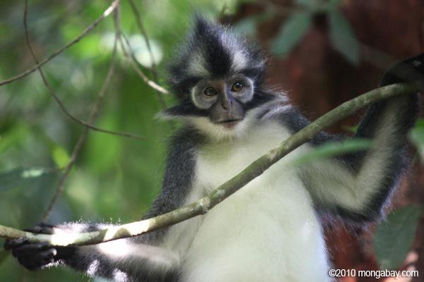 Kedih di Sumatera. Foto oleh: Rhett A. Butler.