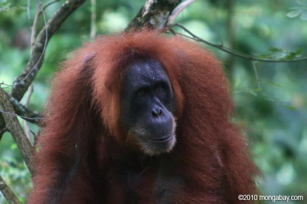 Orangutan in Sumatra. Photo by: Rhett A. Butler.