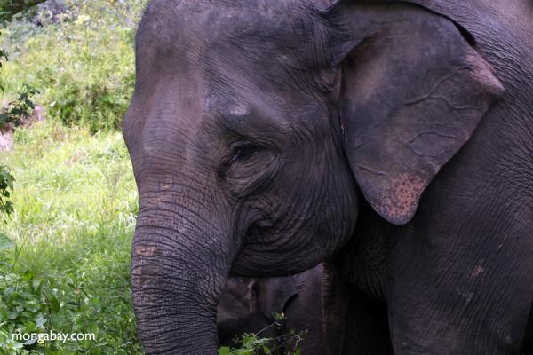 A Sumatran elephant of the sort that lives in the Leuser Ecosystem. Photo: Rhett A. Butler