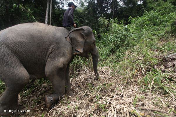 Sumatran elephant with mahout.