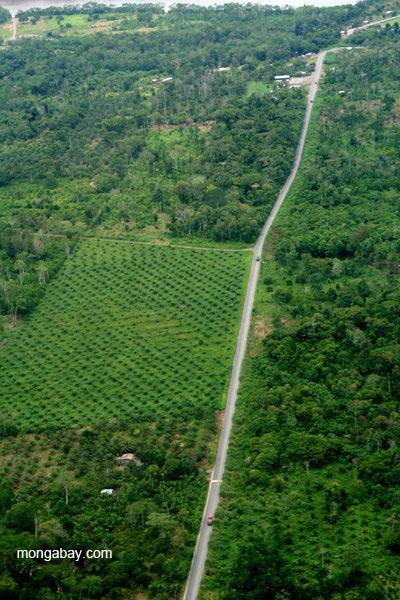 Palm oil near frontier town, Coca, in the Ecuadorian Amazon