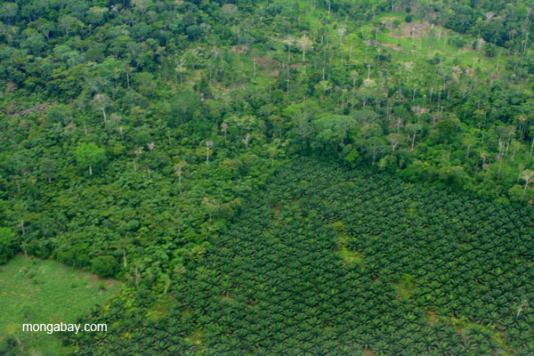 Palm oil plantations near frontier town, Coca, in the Ecuadorian Amazon