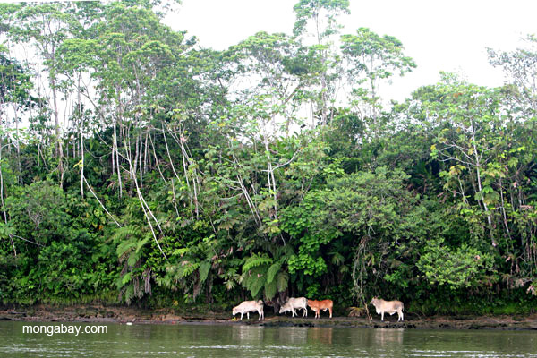 Cattle wander the bank of the Napo River in the Ecuadorian Amazon