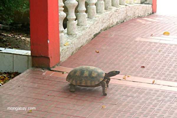 Turtle in the frontier town of Coca in the Ecuadorian Amazon