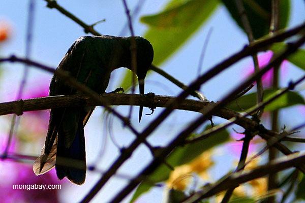 Detail of sparkling violetear hummingbird (Colibri coruscans) in Quito, Ecuador.