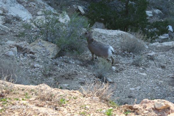 Ewe big horn sheep (Ovis canadensis) in Grand Canyon National Park, Arizona
