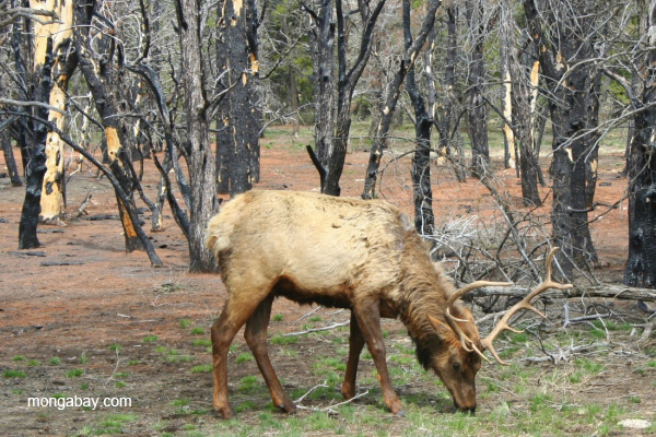 An elk in Grand Canyon National Park, Arizona