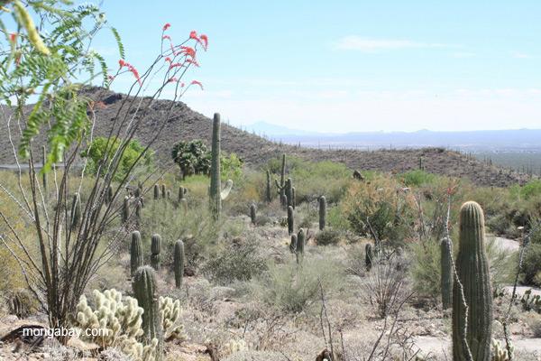 Desert landscape in the Saguaro National Park, Arizona