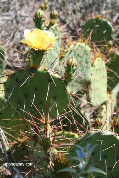 Cacti (unidentified species) in the Saguaro National Park, Arizona