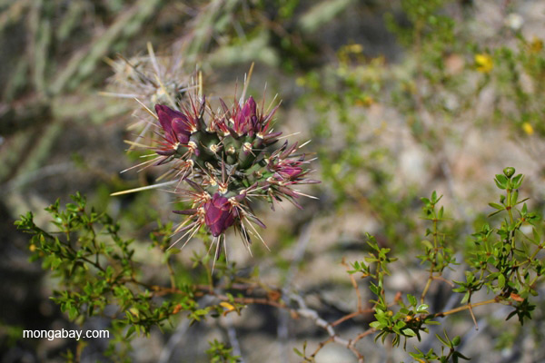 Flowering cactus (unidentified species) in the Saguaro National Park, Arizona
