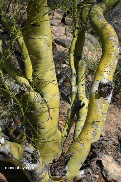 Tree (species unidentified) in the Saguaro National Park, Arizona