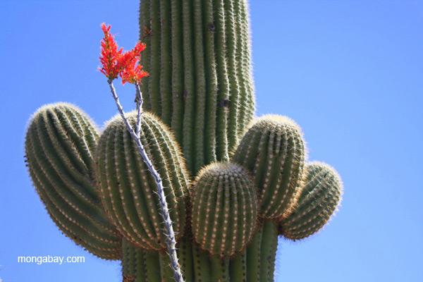 Saguaro cactus in the Saguaro National Park, Arizona