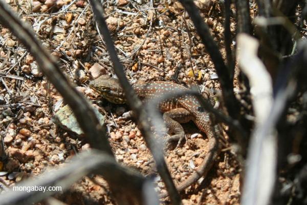 Lizard (unidentified species) in Saguaro National Park, Arizona