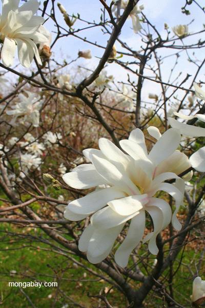Magnolia in Buffalo, Minnesota