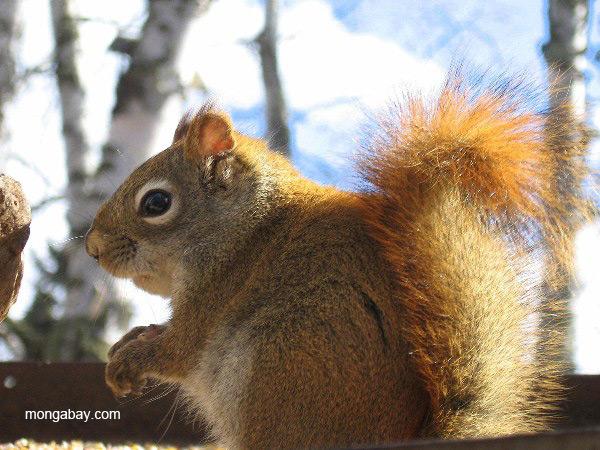 Gray squirrel near Ely, Minnesota