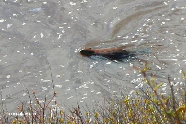 Beaver swimming in Gooseberry State Park, Minnesota