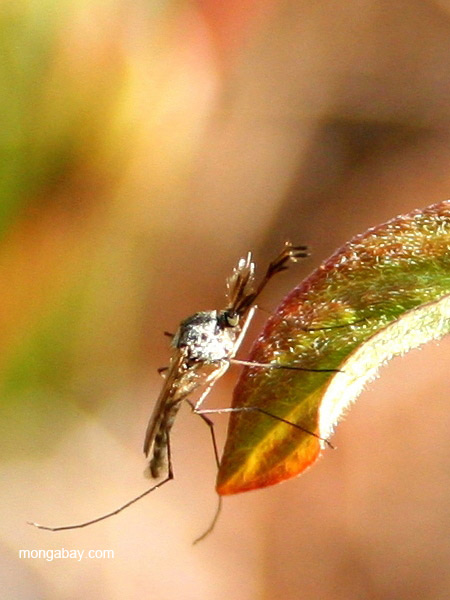 Mosquito near Two Harbors, Minnesota