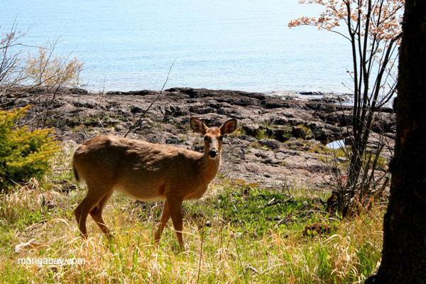 Deer on shoreline of Lake Superior, Minnesota