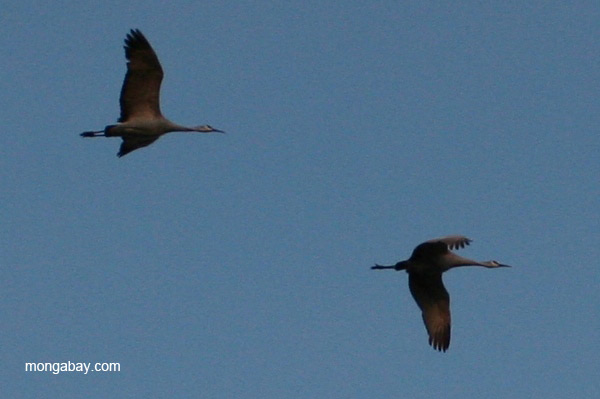 Sandhill cranes (Grus canadensis) flying in New Mexico