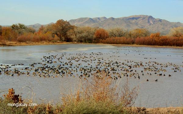 Ducks in wetlands at Bosque del Apache National Wildlife Refuge