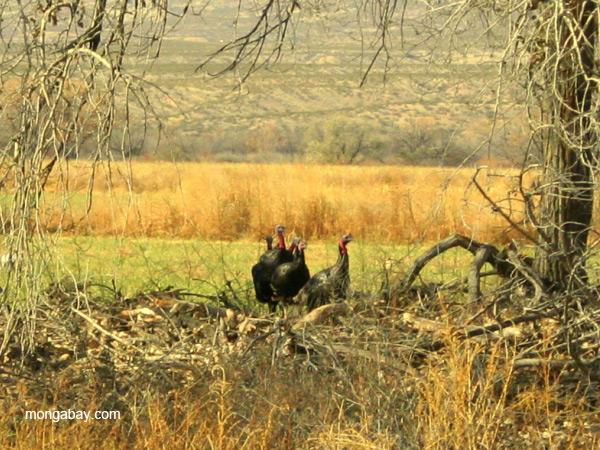 Wild turkeys (Meleagris gallopavo) at Bosque del Apache National Wildlife Refuge
