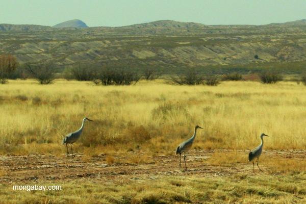 Sandhill cranes (Grus canadensis) in Bosque del Apache National Wildlife Refuge, New Mexico