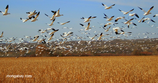 Snow geese (Chen caerulescens) at Bosque del Apache National Wildlife Refuge, New Mexico