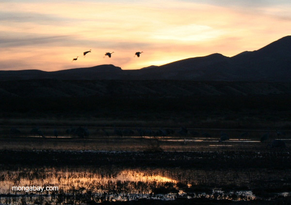 Sandhill cranes (Grus canadensis) taking off at sunset in Bosque del Apache National Wildlife Refuge, New Mexico