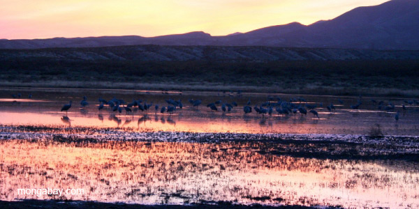Sandhill cranes (Grus canadensis) feeding at sunset in Bosque del Apache National Wildlife Refuge, New Mexico