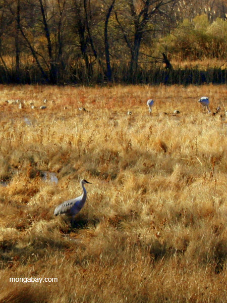 Sandhill cranes (Grus canadensis) in Bosque del Apache National Wildlife Refuge, New Mexico