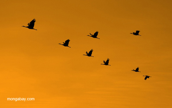 Sandhill cranes (Grus canadensis) flying over Bosque del Apache National Wildlife Refuge, New Mexico