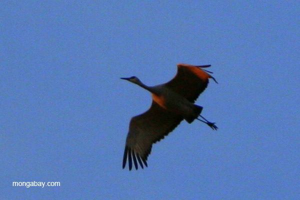 Sandhill crane (Grus canadensis) flying over Bosque del Apache National Wildlife Refuge, New Mexico