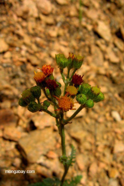 Wildflower (species unidentified) in the Sangre de Cristo Mountains, New Mexico