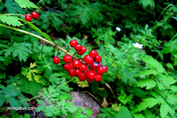 Berries (plant unidentified) in the Sangre de Cristo Mountains, New Mexico